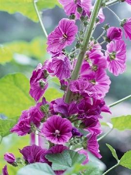 fiori di malva