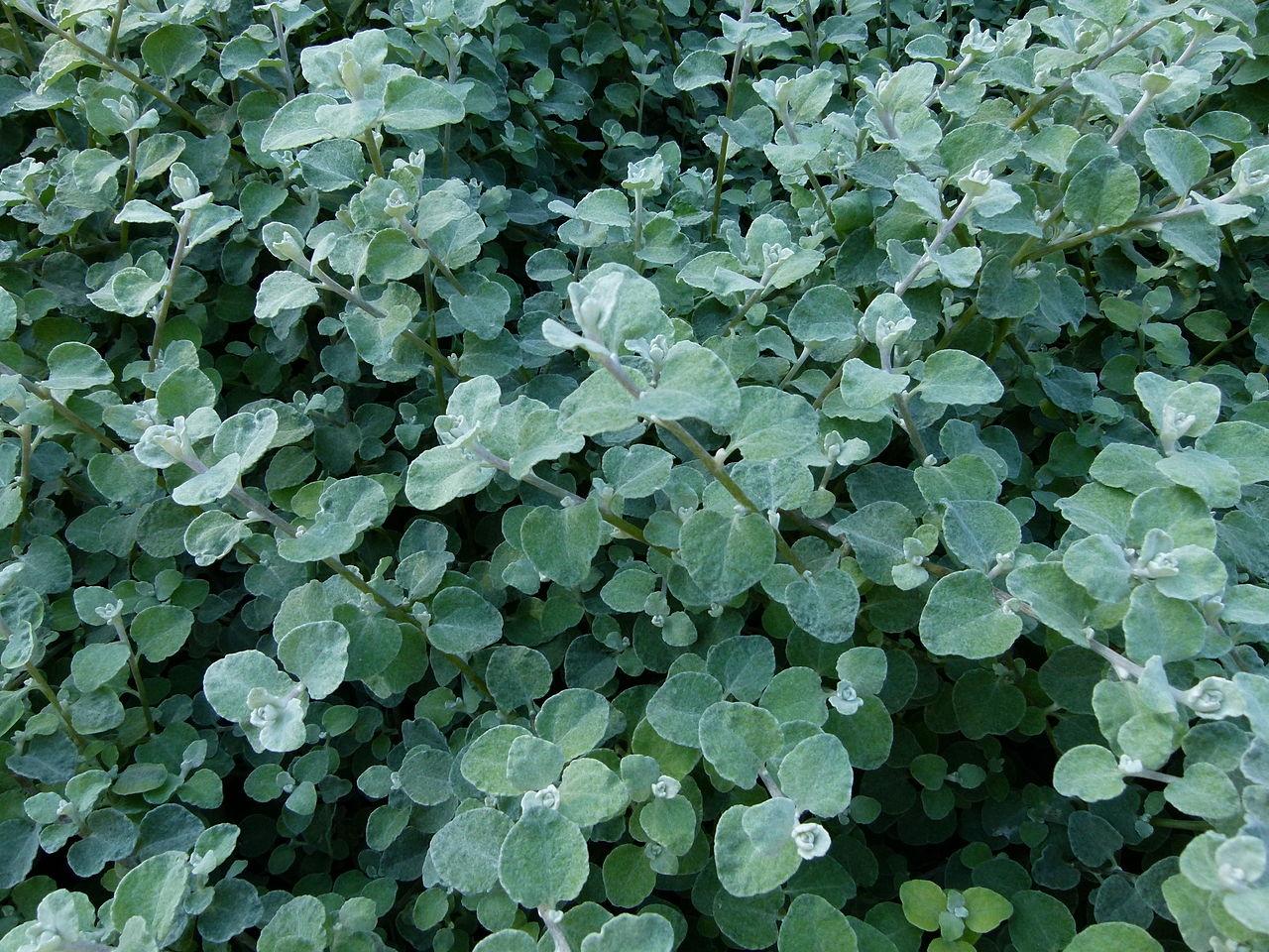pianta liquirizia