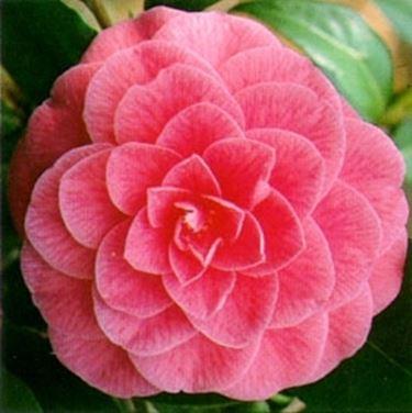 """""""fiore di camelia rosa"""""""