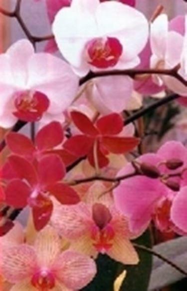 """""""fiori di orchidea"""""""