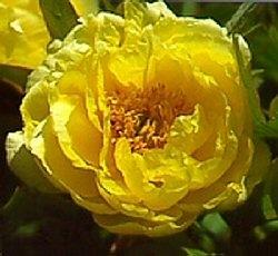 """""""fiore di peonia giallo"""""""
