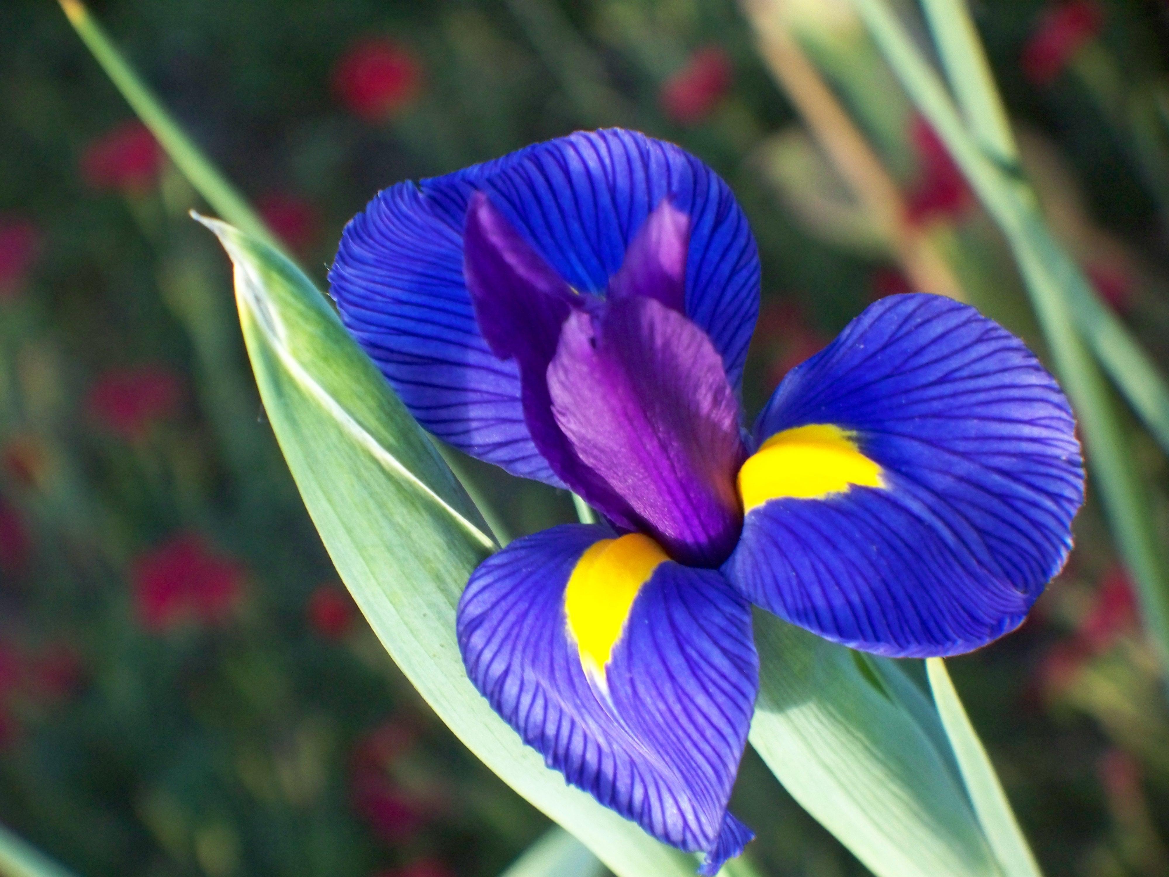 Fiori iris fiori delle piante for Fiori bulbi