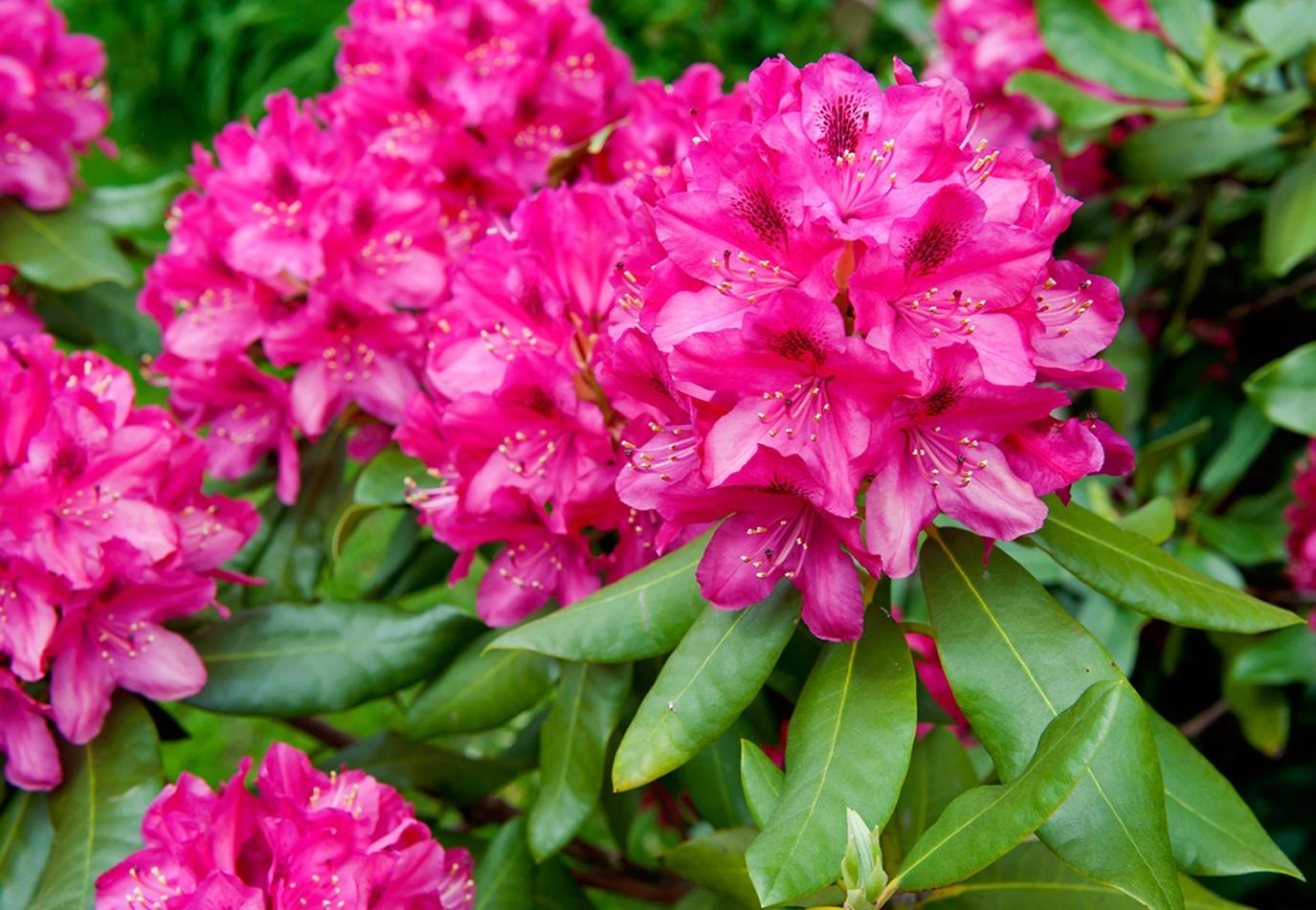 Il rododendro rhododendron piante da giardino il rododendro e le cure necessarie alla sua - Piante bellissime da giardino ...