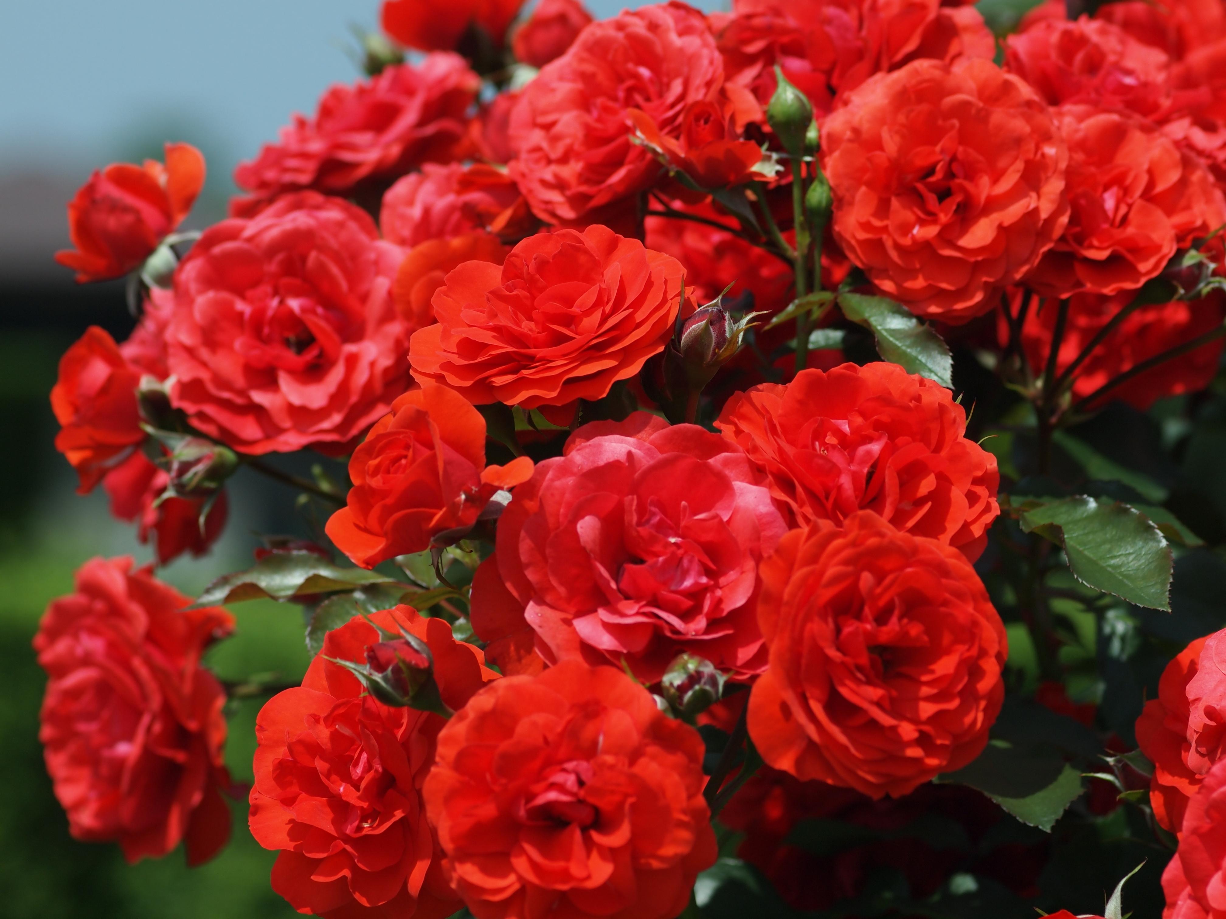 Rose rampicanti rose for Riproduzione rose