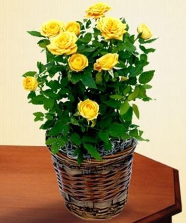 Il seminatore le roselline for Roselline in vaso