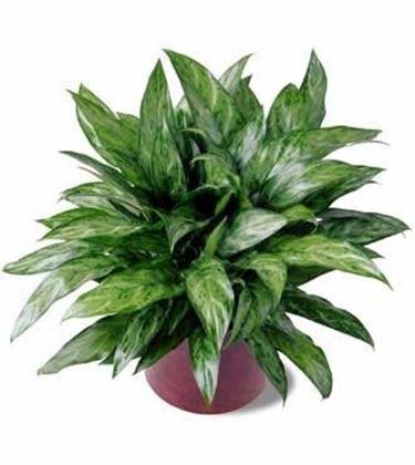 Piante da interno piante appartamento for Piante sempreverdi da appartamento