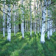 alberi che crescono velocemente