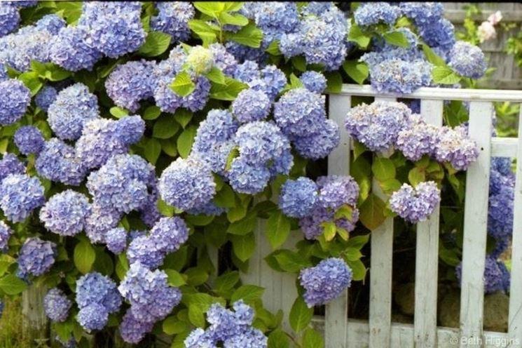 Piante di Ortensie dal colore viola tendente al blu che ornano una recinzione