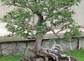 Giardino for Bonsai da frutto vendita