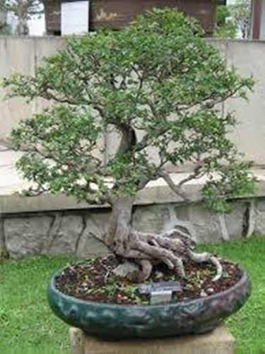 vaso bonsai attrezzi per bonsai dimensioni vaso bonsai