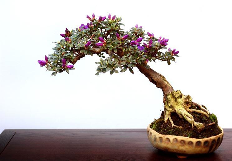 Bonsai italia coltivare bonsai pagina bonsai italia for Vasi per bonsai prezzi
