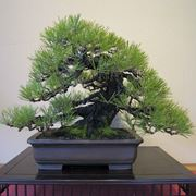 tipi di bonsai
