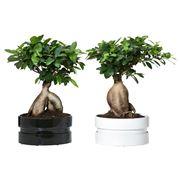 bonsai costo