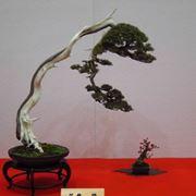 prezzi bonsai