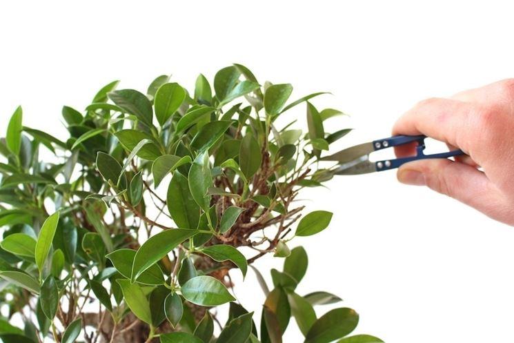 Defogliatore bonsai