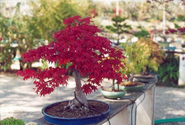 cocciniglia bonsai acero