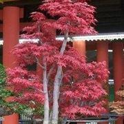 Bonsai acero rosso piante bonsai coltivare bonsai for Glicine bonsai prezzo