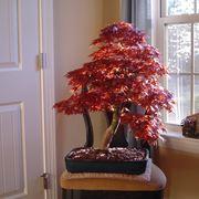 acero rosso bonsai