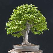 Faggio fagus sylvatica alberi for Glicine bonsai prezzo