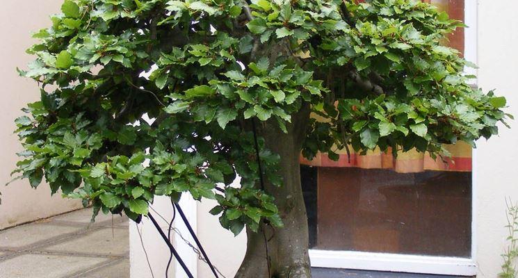 Bonsai faggio in estate