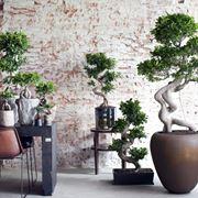 bonsaificusginseng