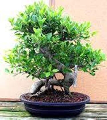 bonsai ficus ginseng piante bonsai bonsai ficus ginseng coltivazione. Black Bedroom Furniture Sets. Home Design Ideas