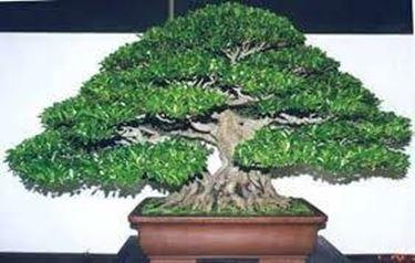 bonsaificusretusa