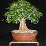 bonsaificus