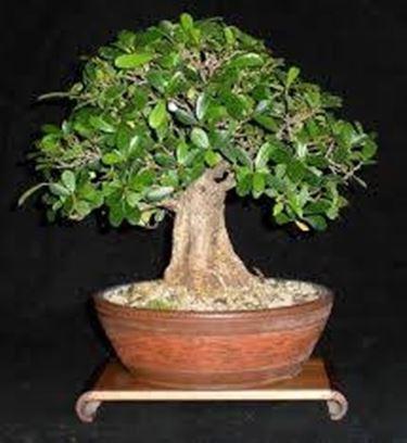 Bonsai ficus - Piante bonsai - Varietà bonsai ficus