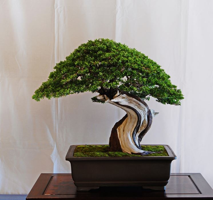Bonsai ginepro piante bonsai coltivazione bonsai ginepro for Piante per bonsai