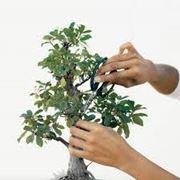 bonsaiginsengcura