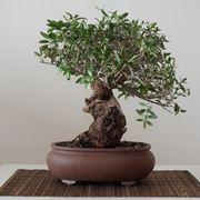 Bonsai ginseng come curarlo - Piante bonsai - Informazioni ...
