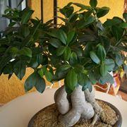 bonsai ficus ginseng cura