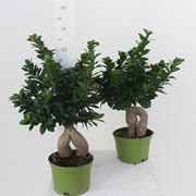 Bonsai Ginseng vaso