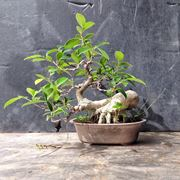 bonsai ginseng