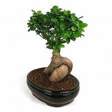 bonsaiginseng