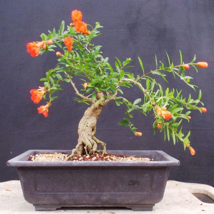 bonsai melograno1