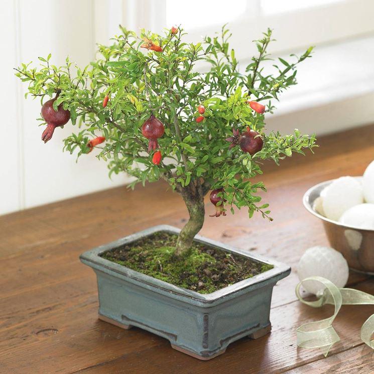 bonsai melograno2