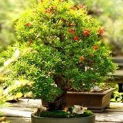 cura del bonsai