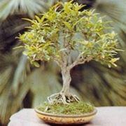 melograno bonsai