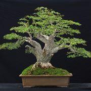 Il bonsai olivo