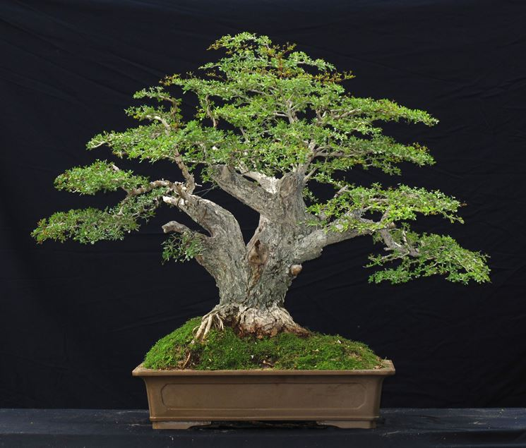 Il bonsai olivo