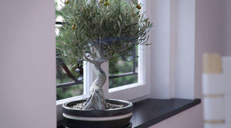 coltivare bonsai olivo