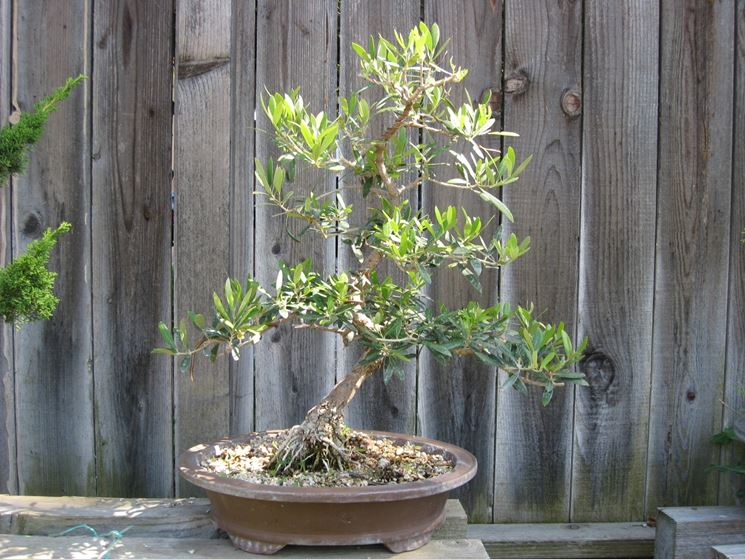 Bonsai olivo coltivaizone