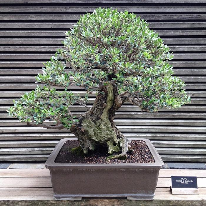 bonsai ulivo piante bonsai coltivazione bonsai ulivo