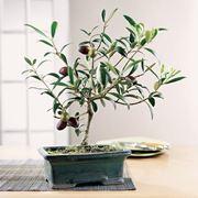 ulivo bonsai