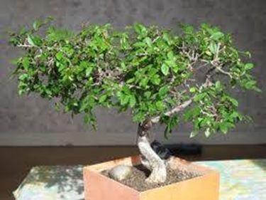 bonsai zelkova1