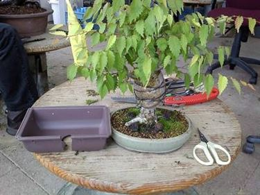 bonsai zelkova2