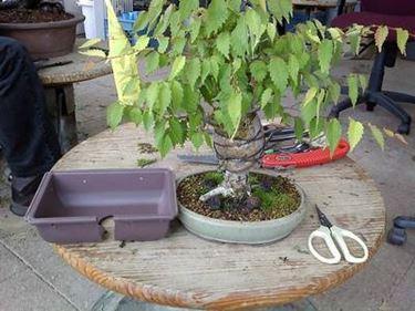 bonsai zelkova2