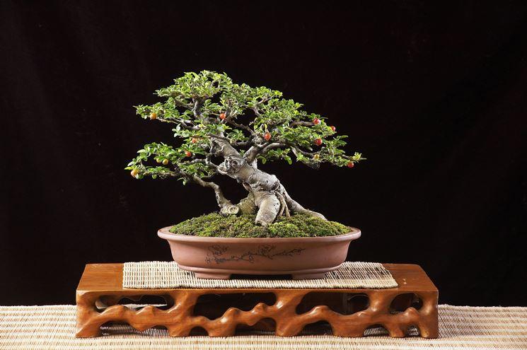 Curare il bonsai ficus piante bonsai piante bonsai - Cura dei bonsai in casa ...